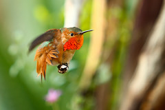 He Feels Handsome (Don Baird) Tags: red orange brown green spring rainbow hummingbird huntington posing specanimal specanimals