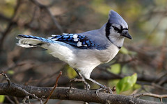 Blue Jay Hokey Pokey ! (Tony Tanoury) Tags: blue wild tree bird nature animal closeup fauna bill jay michigan wildlife beak feather crest bluejay perch ornithology birdwatching soe avian tqm hokeypokey cyanocittacristata blueribbonwinner supershot flickrsbest bej specanimal mywinners abigfave goldmedalwinner anawesomeshot diamondclassphotographer flickrdiamond citrit theunforgettablepictures goldstaraward natureselegantshots paololivornosfriends thebestofmimamorsgroups distinguishedbirds mothernaturesgreenearth flickrsportal