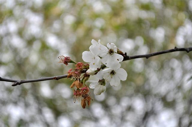 ramo di melo