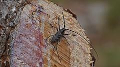 DSC08275 Owad z Hvaru (dreptacz) Tags: hvar drzewo pień owad sony slt lustrzanka żywica chorwacja wyspa