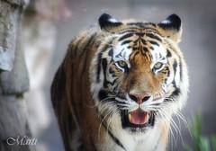 Coming at ya! (FLPhotonut) Tags: nature zoo intense eyes feline teeth tiger bigcat stalk canon75300 buschgardenstampa endangeredspecies bengaltiger canon50d flphotonut mesart animalsartgallery