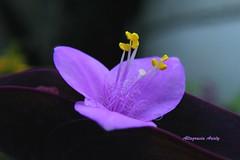 Flor de Magueyito (Altagracia Aristy Sánchez) Tags: flor flower flordemagueyito quisqueya repúblicadominicana dominicanrepublic caribe caribbean antillas antilles trópico tropic macro primerplano closeup fujifilmfinepixs8100fd fujifinepixs8100fd américa shortfocus magueyito natureselegantshots excellentsflowers topshots thebestofmimamorsgroups tradescantiapallida purplequeen altagraciaaristy purpleheart laromana caraïbi pallida setcreaseapallida tradescamtiapallida