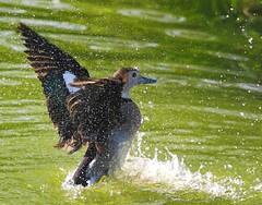 Wash time (Molly:-)) Tags: bird duck washing ringedteal thewonderfulworldofbirds bemptonduckpond
