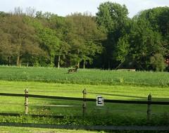 Black Roe Deer - 3 (joeke pieters) Tags: black holland nature netherlands wildlife zwart roedeer achterhoek winterswijk gelderland ree aroundhouse woold rondhuis