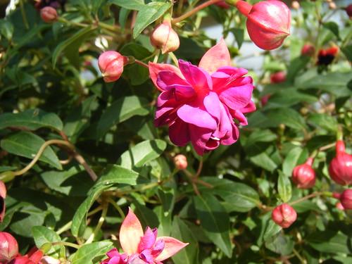 Fuschia Flower Blooms