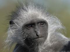 Western black and white colobus (gentle lemur) Tags: blackpoolzoo westernblackandwhitecolobus colobuspolykomospolykomos