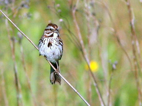 Song Sparrow 20090605