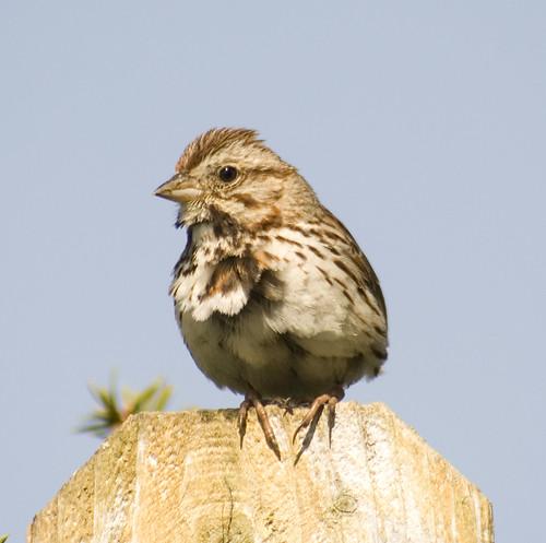 song sparrow_5