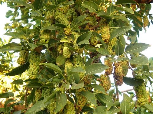 ombu con frutos