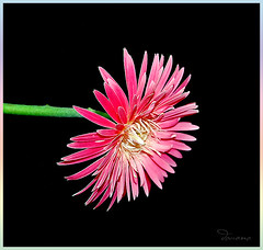 Pink Against Black (Douano) Tags: pink flower nikon pinkflower dandee douano