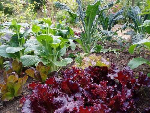 Vegetable Bed Lettuce