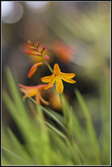 Delicate (H e l l y) Tags: flowers orange plants plant flower green nature liverpool fleurs botanical petals bokeh dslr crocosmia helly merseyside montbretia floras canonef50mmf18ll helenawatson