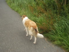 Radtour2 (manopet) Tags: dog collie hund mano meldorf torja