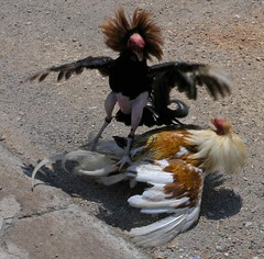 Gallos de pelea - fighting cocks;  El Sauce, León, Nicaragua (Lon&Queta) Tags: latinamerica birds animals leon nicaragua gps centralamerica 2007 américalatina centroamerica elsauce