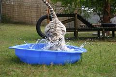 Pool-Party fr weie Babytiger (uri press) Tags: pool zoo wasser tiger holte safaripark dusche stukenbrock schlos weisetiger
