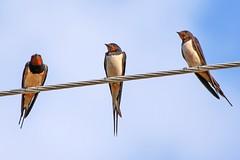 Barn Swallow (Hirundo rustica) (Rjme) Tags: lake nature birds animals wildlife greece macedonia prespa prespes