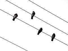 california usa birds geotagged aves longbeach cables pajaros palomas doves eeuu geo:lat=33773464 geo:lon=118155892