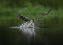 osprey just caught trout 2 (mikejrae) Tags: scotland flying fishing loch trout aviemore osprey scotish rothiemurchus insh
