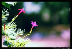 Flower (Murugesh Semporul Alagan) Tags: flower colors digital canon photography eos rebel colorful xsi dakshinchitra 18200mm murugesh 450d alagan semporul smurugesh