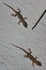andando a cena (gufino (out for awhile)) Tags: muro fauna natura animali coppia geco rettile aderenza