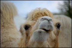 Chameau (jd.echenard) Tags: animal zoo camel grimace deve mammalia kamel gueule chameau bielbienne camellos chordata camelidae artiodactyla camelus nikond200 mywinners cirqueknie