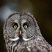 Great Grey Owl Up-Close