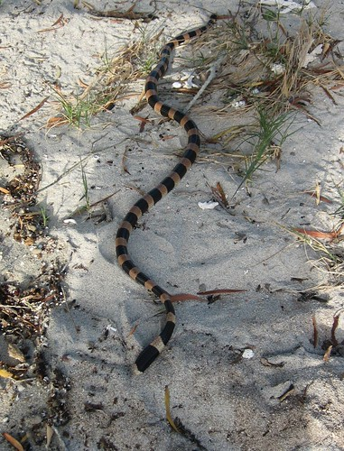 Sea snake on the beach at Ile Tenia