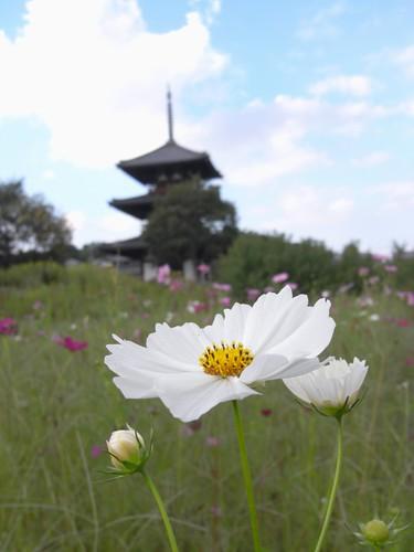 法起寺三重塔とコスモス-06