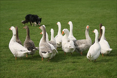 Geese drive (Foto Martien (thanks for over 2.000.000 views)) Tags: dog holland bird dogs netherlands dutch geese nederland goose gans ganzen bordercollie vogel collies gelderland beesd betuwe herding fourinhand sigma70300apomacro landgoedfair marinwaerdt sonyalpha350 sonya350 martienuiterweerd martienarnhem geesedrive ganzendrijven