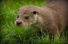 European Otter Cub .... (wendysalisbury) Tags: cute cub wildlife otter britishwildlifecentre europeanotter