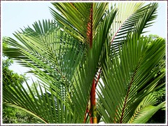 Cyrtostachys renda (Lipstick Palm, Red Sealing Wax Palm): close-up of pinnate fronds