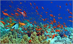 more red fish in the red sea (Z Eduardo...) Tags: blue red nature underwater redsea egypt sharmelsheikh scubadive redfish coralreef mywinners