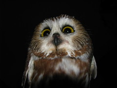 Angry, angry owl (Kerry Wixted) Tags: cute saw md maryland study shore owl migration volunteer eastern banding strigidae whet acadicus aegolis