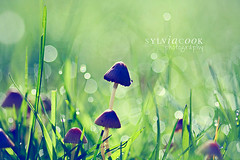 they're back! (slcook52 (Sylvia)) Tags: macro green mushroom grass waterdrop bokeh dew sigma105mmf28 hggt gorgeousgreenthursday copyrightedallrightsreserved