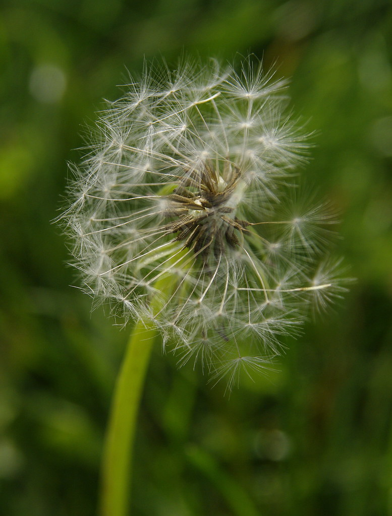 dandelion with Sigma 17-70mm f/2.8-4.5 and Pentax K20D