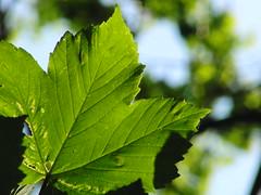 Leafy leafy! (Alex Staniforth: Wildlife/Nature Photography) Tags: alex cheshire wildlife group staniforth casioex fh20