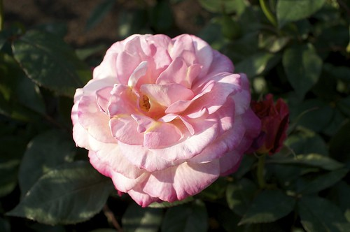 薔薇 by keganimushi