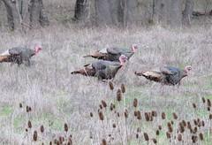 Wild Turkeys (US Rt 40) Tags: or oregon roseburgor turkeys turkey wildturkeys