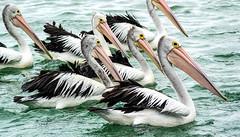 _DSC8880.jpg (David Hamments) Tags: centralcoast pelicans theentrance ngc flickrunitedaward