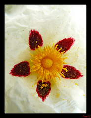 Polen (OscarLL) Tags: naturaleza lumix flor panasonic polen mywinners colorphotoaward fz18 mygearandme
