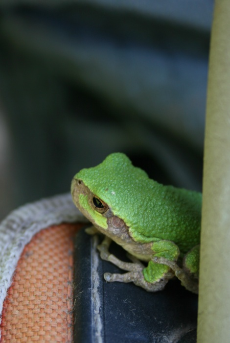a tree frog too!