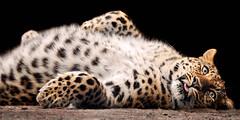 «Rub my belly!» (Tambako the Jaguar) Tags: wild walter cute tongue cat zoo switzerland big nikon feline adorable kitty fluffy explore belly leopard hero winner lying rosettes gossau felid d300 panthera pantherapardus pardus vosplusbellesphotos olétusfotos herowinner ultraherowinner