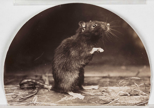 'Mr and Mrs Rattus: Old English Black Rat'