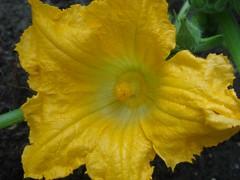 Courgette bloem