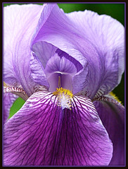 flowers become family (calamityjan2008) Tags: family flowers iris plants love gardens purple gardening perennials colorphotoaward theperfectphotographer awesomeblossoms