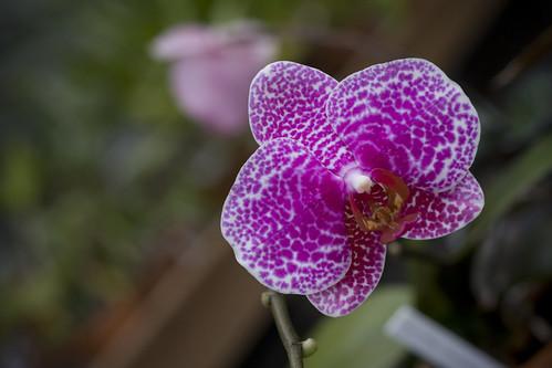 spotty dotty orchid