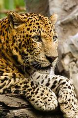 Deadly Beauty (tropicaLiving - Jessy Eykendorp) Tags: light sky water clouds rocks leopard bigcat wikipedia endangered animalplanet pantherapardus