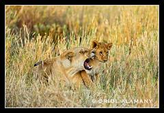 OA_M_E7C5646 (Oriol Alamany) Tags: africa travel female cub child african wildlife lion mother safari grooming kenia savanah masaimara pantheraleo canoneos1dsmkii flickrbigcats canonef500mm145l oriolalamany