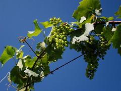 'Chardonel' grapes