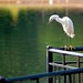 Snowy Egret © 2009 Louis Trapani arttrap.com